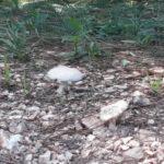 Unidentified Amanita wide